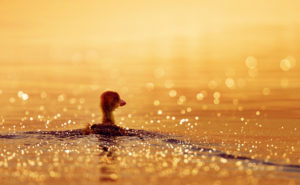 Peaceful Duck