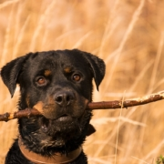 Rottweiler with big stick